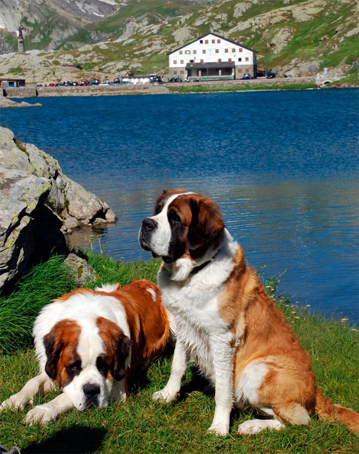 Perros en el paso del Gran San Bernardo